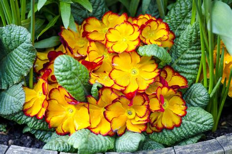 Orange Primula Flowers Stock Images Download 524 Royalty