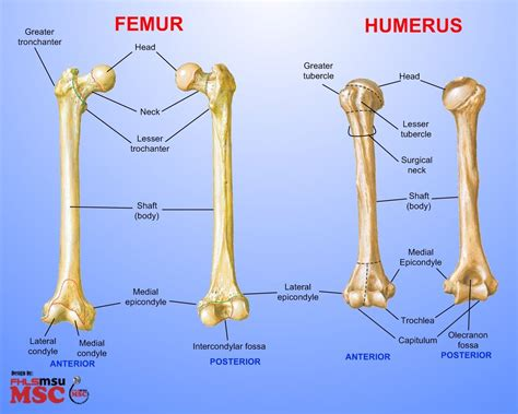 It has a prismatic shape, and lies the tibia is the second longest bone in the human body. Posts about Femur on These Bones Of Mine | Anatomy bones, Human anatomy and physiology, Nursing ...