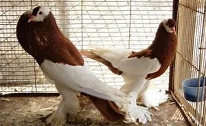 Kerala Pets Market : Wholesale dealer for pigeons in ...