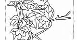 Ivy Coloring Pages Leaf Leaves sketch template