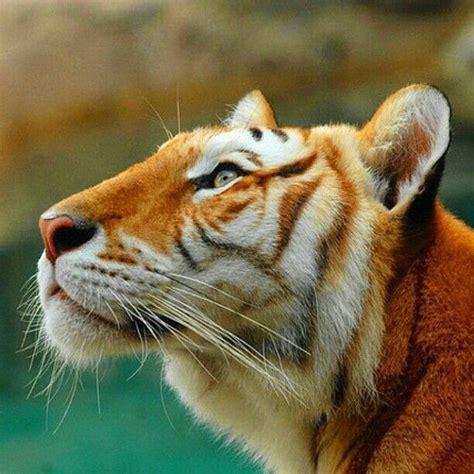 Golden Tabby Tiger Tigers Pinterest