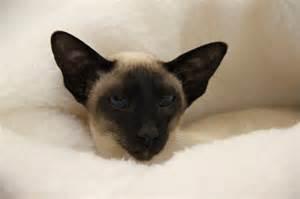 siamese cat breeder siamese cat shows kensington
