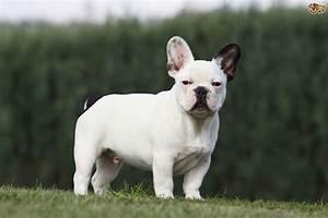 French Bulldog Dog Breed Information, Buying Advice ...  French