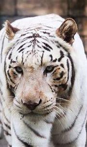 White Tiger   GANREF