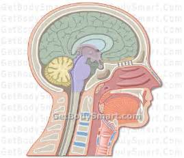 Brain Anatomy and Function Quiz