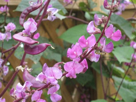 vine plant with purple flowers growing hyacinth bean vine hyacinth bean plant info and care