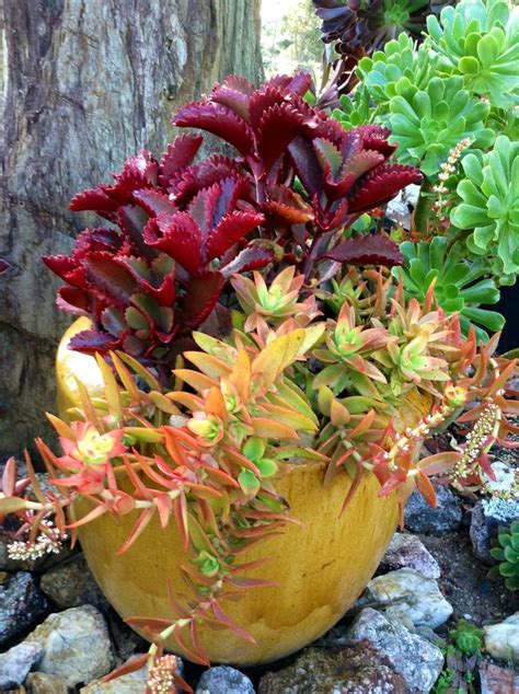 succulent containers for sale favourite pot of kalanchoe sexangularis and crassula capitella quot cfire quot garden succulents