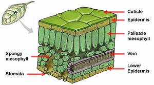 Explain The Cross Section Of A Leaf - Science