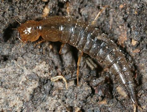 Water Tiger Beetle Larvae