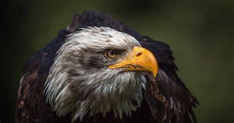 wallpapers eagle impremedianet