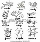Coloring Herbs Pages Spices Herb Mint sketch template