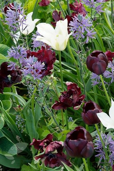 buy parrot tulip bulbs tulipa black parrot delivery by