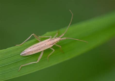 grass bugs pictures grass bug stenodema laevigata flickr photo sharing