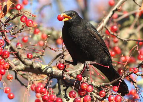 The Worlds Best Photos Of Berry And Bird Flickr Hive Mind