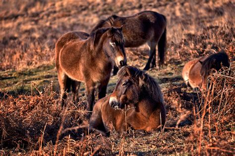 endangered horse breeds wild tom lee cc flickr pony