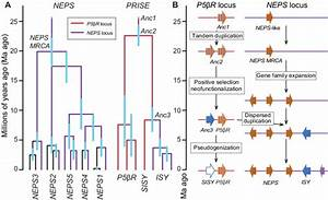 Enzyme And Genome Evolution In Nepeta Iridoid Biosynthesis