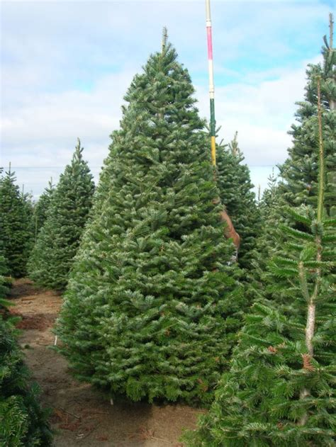 abies bornmuelleriana turkish fir archives brooks tree farm