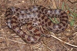 Nc Tree Identification Chart Prairie King Snake Common Snakes Identification Guide For