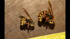 Kupfer Gegen Wespen : wespen essen eine uralte vergessene delikatesse youtube ~ Watch28wear.com Haus und Dekorationen