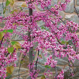 japanese redbud tree photos 21 best redbuds images on shrubs shrub and blossom trees