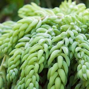Plantes Grasses Intérieur : sedum burrito plante grasse en suspension de 14 cm hauteur 30 cm gamm vert ~ Melissatoandfro.com Idées de Décoration