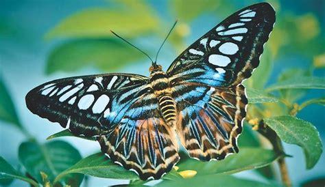 menakjubkan  wallpaper alam kupu kupu gratis kupu kupu