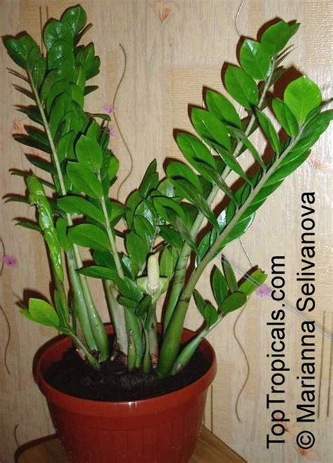 zamioculcas zamiifolia houseplants flowers pinterest