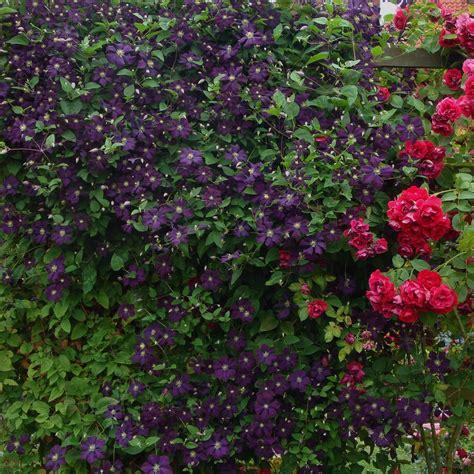Kletterpflanzen Balkon Sichtschutz by Kletterpflanzen Als Sichtschutz Winterhart Kn Terich