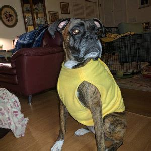 sweaters for boxer dogs boxer jackets and sweaters by boxerbliss on etsy
