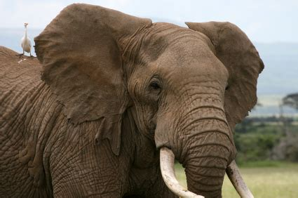 african elephant facts  kids elephants african animals
