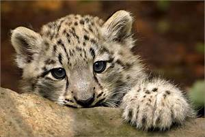 Portrait baby snow leopard | Portrait of a three month old ...
