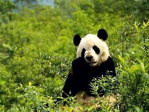 cool panda bilder, cool pandabild und foto - Tier Bilder