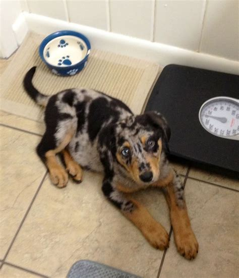 adopt a black and tan coonhound today dog breeds picture