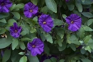 Blue potato vine   Over the summer, I attempted several ...
