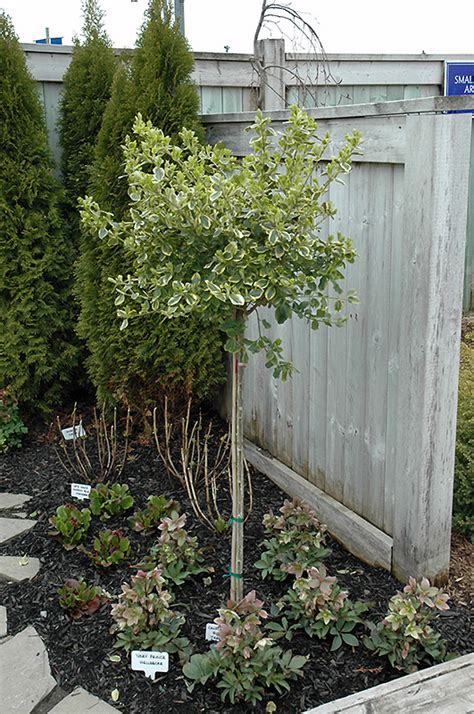 Ontario Plant Nurseries by Canadale Gold Wintercreeper Tree Form Euonymus Fortunei