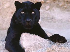 black panther cat world images gallery black panther