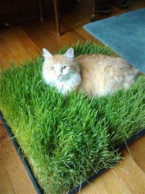 25 best ideas about cat garden on cat grass