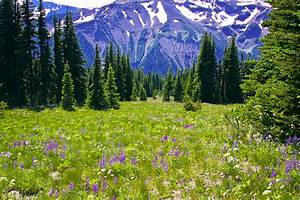 Alpine Meadow Iv At Mount Rainier Photograph by David