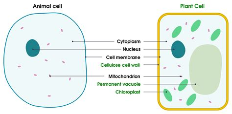 animal cell diagrams labeled diagram link