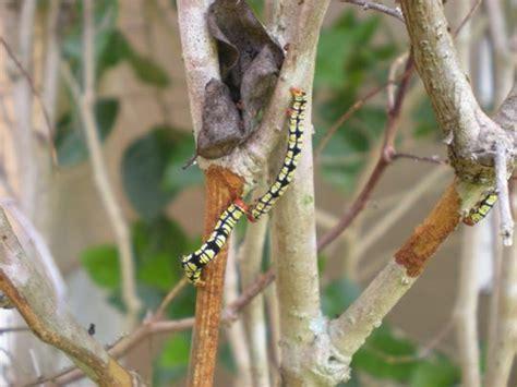 caterpillars  black butterflies related  florida