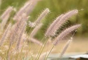 Lampenputzergras Im Kübel : federborstengras pflanzen pflegen und schneiden ~ Yasmunasinghe.com Haus und Dekorationen
