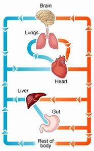 Easy To Draw Circulatory System Diagram Excretory System ...