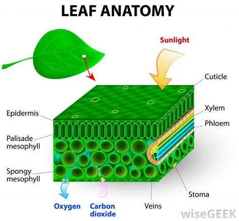 anatomy of a leaf diagrams diagram site