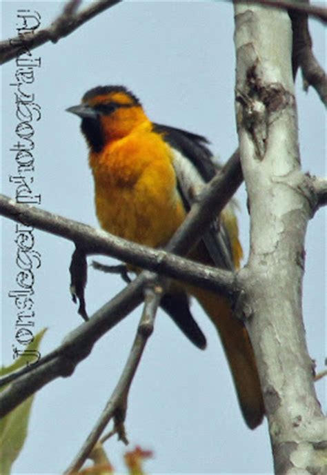 northern illinois birder bullock s oriole western birds