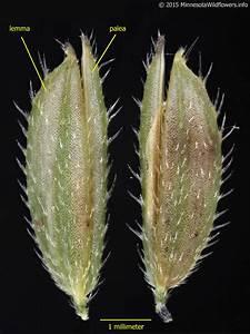 Leersia Oryzoides  Rice Cutgrass   Minnesota Wildflowers