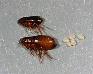 Fleas Life Cycle | Frontline VIP Club
