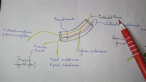 Pudendal Canal How Draw Nerve Its