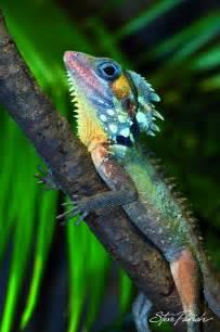 Boyds Rainforest Dragon