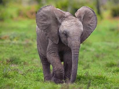 Elephant Animals Elephants Safari Chrome Wallpapersafari Code