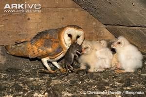 Barn Owl Chicks Feeding